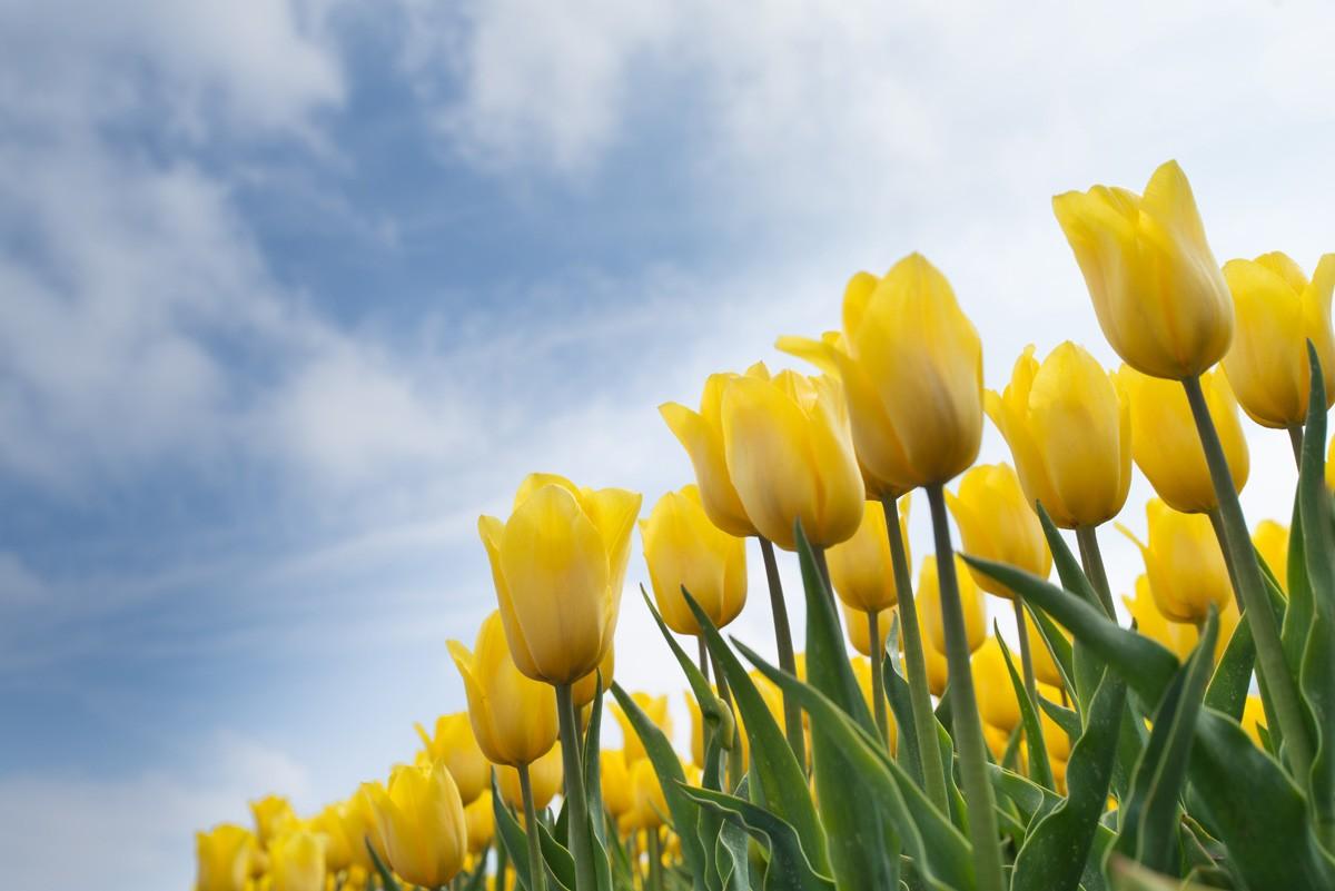 таком фотообои желтые тюльпаны увидеть себя или